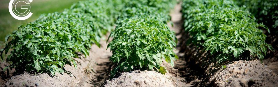 Młode ziemniaki i ich uprawa